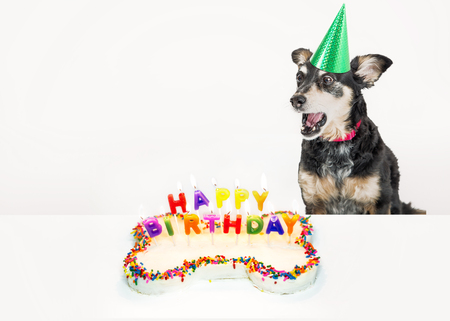 Funny photo of a dog blowing out candles on a birthday cake. Isolated on white with copy space.