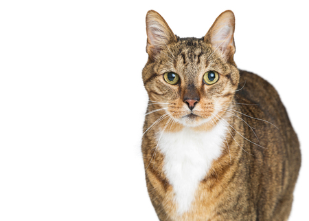 Closeup photo of a beautiful brown and white tabby cat looking at the camera over white with copy space Stock Photo