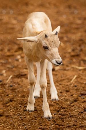 Newborn baby Addax Antelope alf standing in dirt