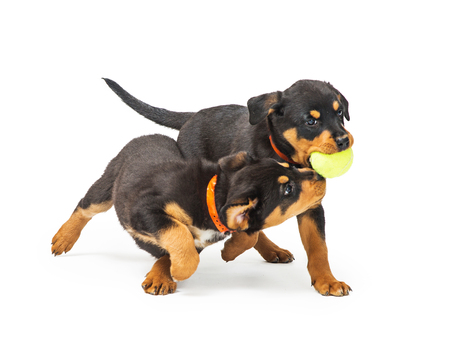 Two cute young Rottweiler puppy dogs playing with a yellow tennis ball together Stock Photo
