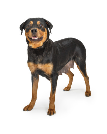 Friendly female Rottweiler dog that just had a litter of babies standing on a white studo background Reklamní fotografie
