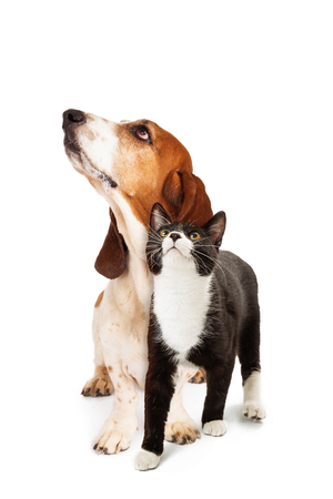 Basset Hound Dog and tuxedo cat together over white, looking up Zdjęcie Seryjne