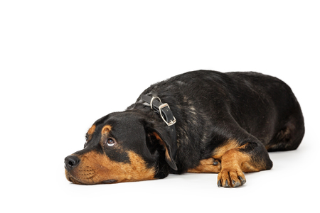Large patient Rottweiler breed dog lying down on white background while rolling eyes to look up