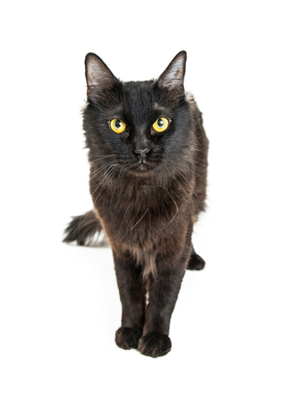 Beautiful black cat standing on white looking forward into camera, Standard-Bild - 99224771