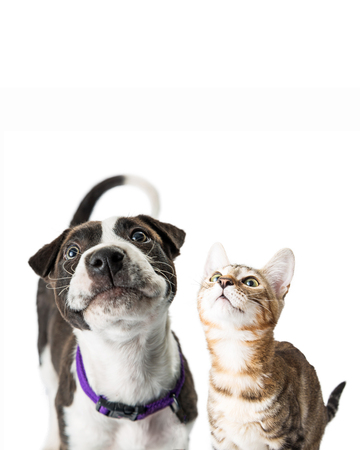 Closeup photo of cute black and white color puppy and tabby kitten together with curious expressions looking up into copy space