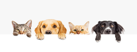 Row of the tops of heads of cats and dogs with paws up, peeking over a blank white sign. Sized for web banner or social media cover Stock Photo