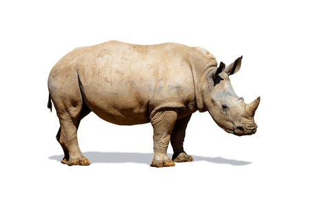 Side view of a large Southern White rhinoceros isolated on white