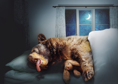Funny photo composite of a big black bear sleeping on a bed at nighttime in a house while snuggling a stuffed bunny rabbit