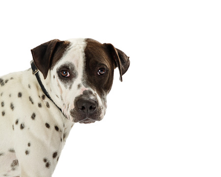 Closeup of a medium size mixed terrier breed dog with white fur and black spots coming out of the side of the photo Stock Photo - 99224509