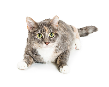 Pretty young calico cat lying down on white background