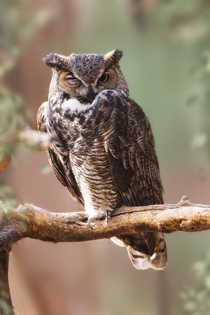 Great Horned Owl with one eye open, perched on a branch with blurred nature background