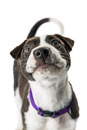 Closeup photo of cute black and white color puppy with curious expression looking up Imagens