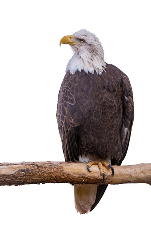 American Bald Eagle perched on a branch. Isolated on white.  Banque d'images