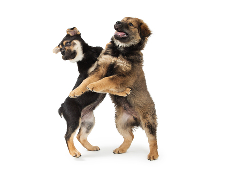 Two cute Chow and Rottweiler mixed breed puppies standing up and play wrestling together