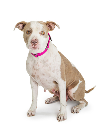 Beautiful female Pit Bull dog with a shy and timid expression sitting down on a whte background and looing at camera