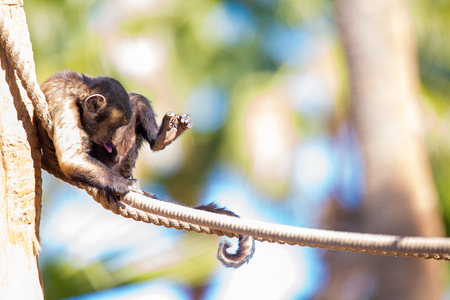 Funny brown tufted capuchin monkey sitting on a rope looking down at his privates with his tongue sticking out.