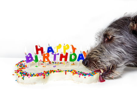 Funny photo of dog eating bone shaped birthday cake with lit candles Reklamní fotografie