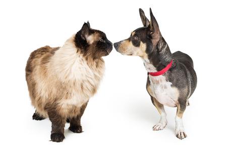 Funny photo of a Himalayan cat and Chihuahua crossbreed dog looking at each other and touching noses