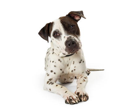 Medium size mixed terrier breed dog with white fur and black spots lying down on white background looking into camera