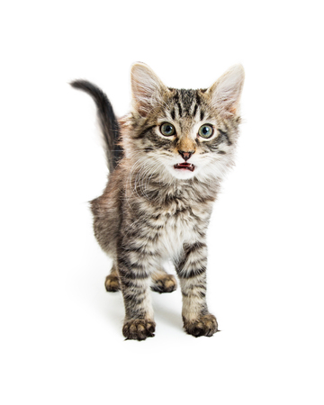 Cute young tabby kitten standing on white with mouth open to meow