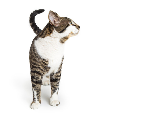 Pretty calico cat standing facing forward and looking to the side with copy space Stock Photo