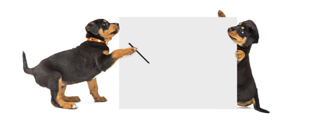 Two cute Rottweiler puppies holding up a blank white sign to write a message Stok Fotoğraf - 99224762