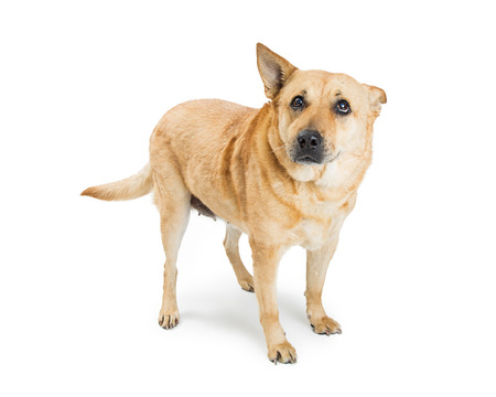 Large shepherd crossbreed dog with guilty expression and one ear tucked back. Isolated on white.