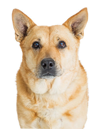 Closeup photo of a shepherd mixed breed dog looking at the camera. Isolated on white. Imagens