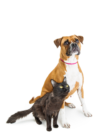 Black cat and Boxer dog sitting on white and looking up into copy space wuth excited expressions