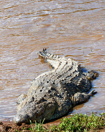 Very large Nile Crocodile at the edge of the Mara river in Kenya, Africa