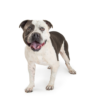 Large American Staffordshire Terrier Purebred Dog standing on a white background with a happy and smiling expression