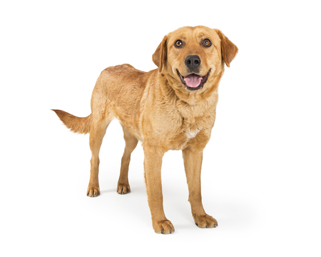 Yellow Labrador Retriever adult dog standing on white with mouth open and a happy smiling expression