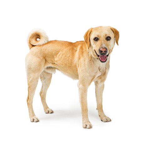 Cute yellow Labrador Retriever mixed breed dog standing to the side and looking at camera with happy smiling expression Stock Photo