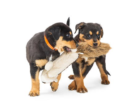 Two cute young black and tan Rottweiler crossbreed puppies playing together with a stuffed toy