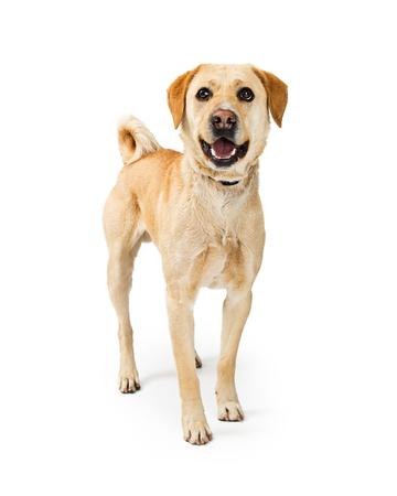 Glücklicher und lächelnder mittelgroßer Labrador Retriever-Kreuzungshund, der auf einem weißen Hintergrund steht und Kamera betrachtet
