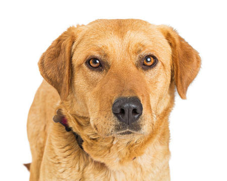 Closeup photo of a large breed yellow Labrador Retriever dog over white, looking into camera Stock Photo