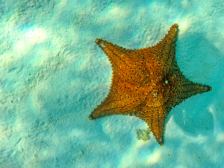 One single starfish at the bottom of the clear blue water of the Caribbean Sea Foto de archivo