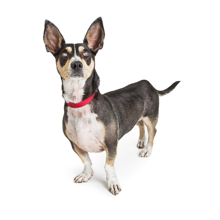Adult black and tan Chihuahua crossbreed dog standing on white and looking up
