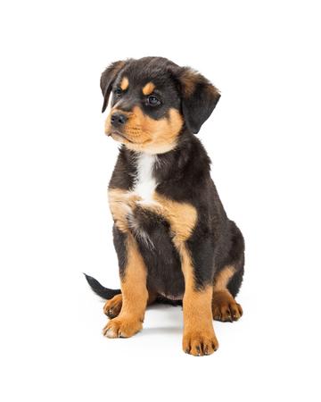 Lindo joven Rottweiler y perro cachorro de mezcla de raza grande sentado en blanco con expresión enojada
