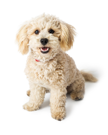 Cute young white color Poodle Havanese crossbreed dog sitting with happy and friendly expression