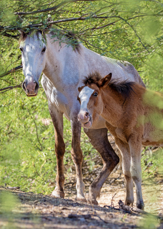 Beautiful wild horse and baby foal under a tree in the Salt River area of Mesa Arizona Фото со стока - 103304415