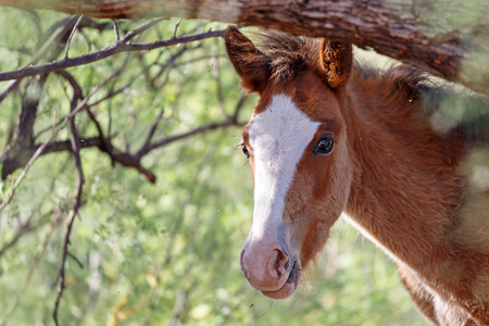 Closeup of the face of a wild foal horse along the Salt River in Mesa Arizona Фото со стока - 103304422