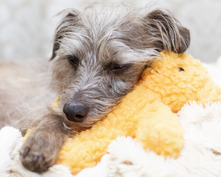 Cute small dog sleeping with teddy bear toy