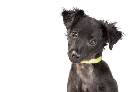 Closeup photo of cute black mixed breed puppy dog looking at camera. Isolated on white with room for text.