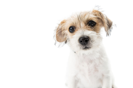 Closeup of the face of a cute young Jack Russell Terrier crossbreed puppy dog with tan and white color wire-haired fur