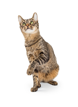 Young tabby cat sitting on white background lifting paw and looking up