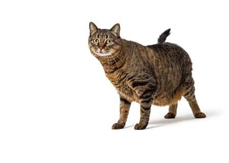 Overweight large tabby cat standing on white looking forward with copy space
