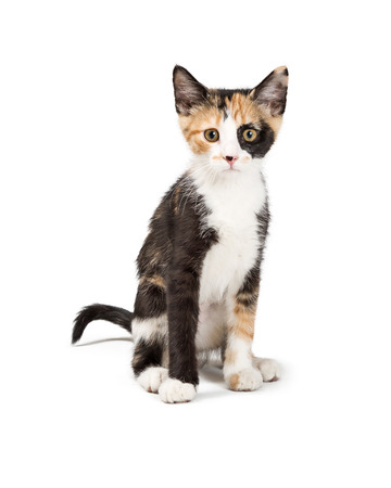 Cute young Calico kitten sitting on white background facing and looking forward Stock Photo