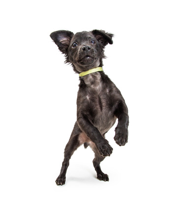 Cute playful black color mixed terrier breed puppy dog standing on hind legs dancing