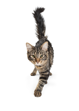 Pretty young black and gray tabby cat walking forward on white